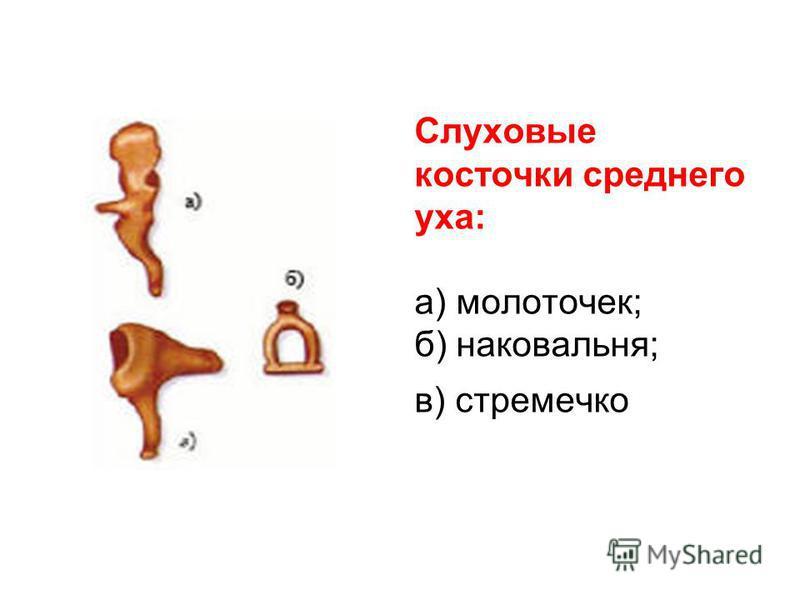 Слуховые косточки среднего уха: а) молоточек; б) наковальня; в) стремечко