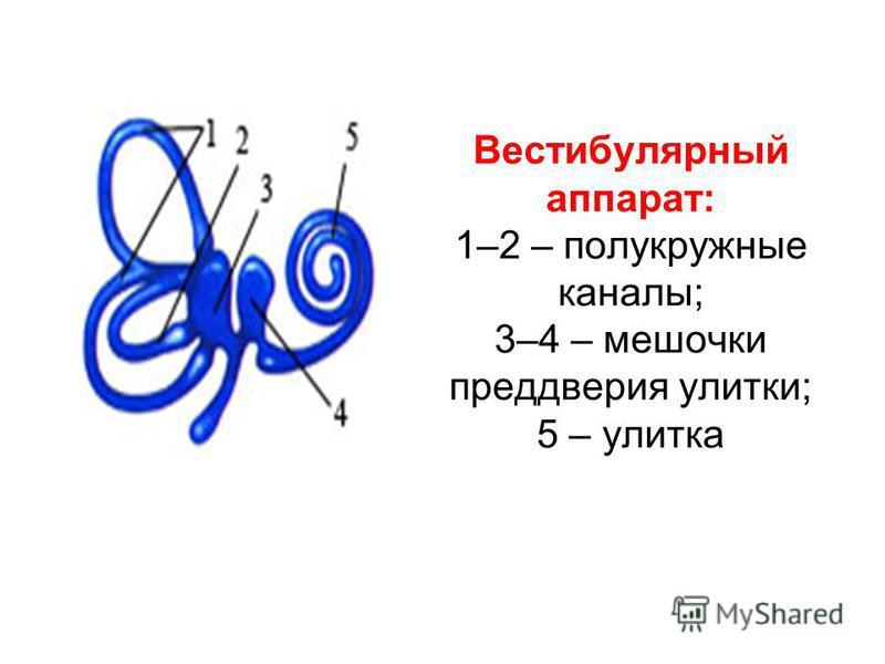 Вестибулярный аппарат: 1–2 – полукружные каналы; 3–4 – мешочки преддверия улитки; 5 – улитка