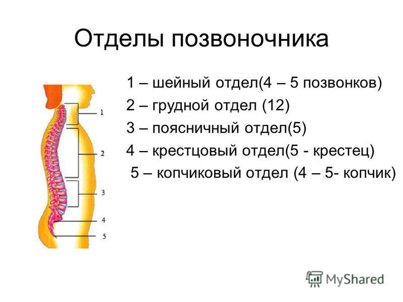 Отделы позвоночника 1 – шейный отдел(4 – 5 позвонков) 2 – грудной отдел (12) 3 – поясничный отдел(5) 4 – крестцовый отдел(5 - крестец) 5 – копчиковый отдел (4 – 5- копчик)