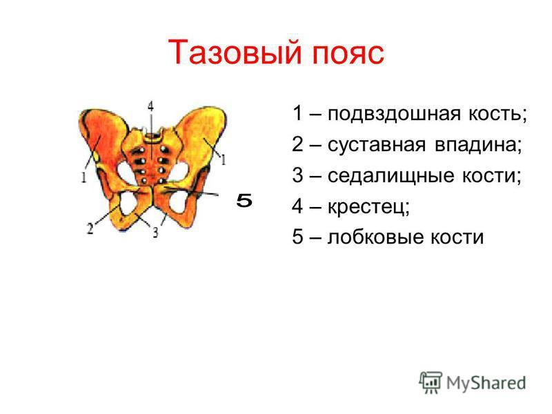 Тазовый пояс 1 – подвздошная кость; 2 – суставная впадина; 3 – седалищные кости; 4 – крестец; 5 – лобковые кости
