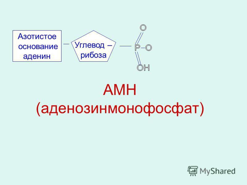 АМН (аденозинмонофосфат) Азотистое основание аденин Углевод – рибоза