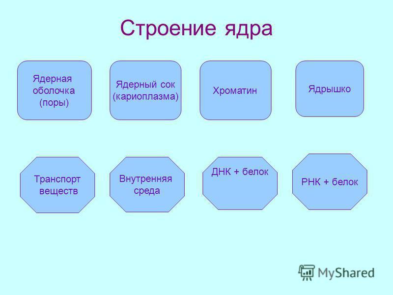 Строение ядра Ядерная оболочка (поры) Ядерный сок (кариоплазма) Хроматин Внутренняя среда ДНК + белок Транспорт веществ Ядрышко РНК + белок