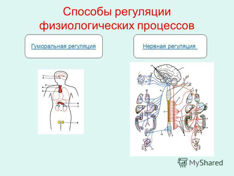 Способы регуляции физиологических процессов Гуморальная регуляция Нервная регуляция