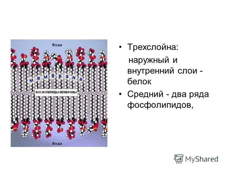 Трехслойна: наружный и внутренний слои - белок Средний - два ряда фосфолипидов,