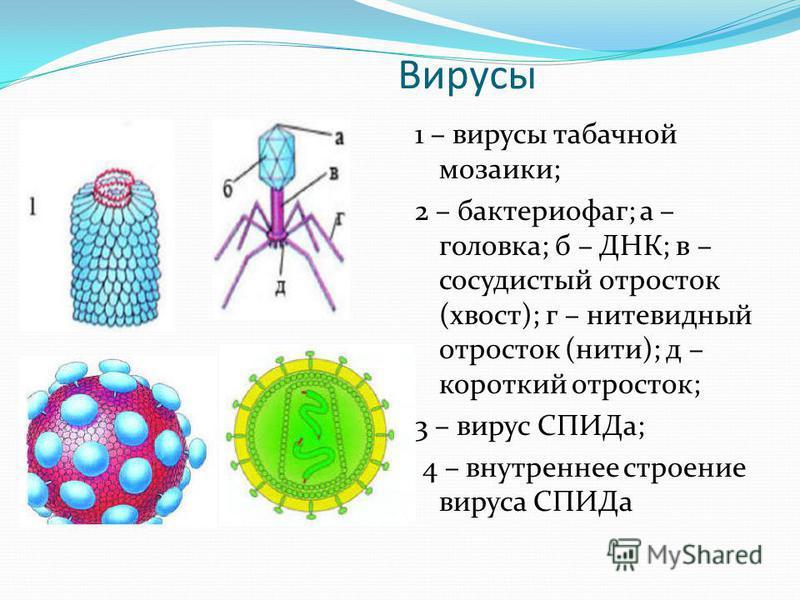 Вирусы 1 – вирусы табачной мозаики; 2 – бактериофаг; а – головка; б – ДНК; в – сосудистый отросток (хвост); г – нитевидный отросток (нити); д – короткий отросток; 3 – вирус СПИДа; 4 – внутреннее строение вируса СПИДа