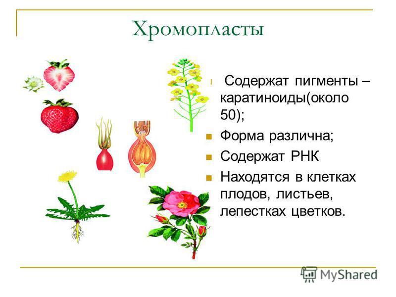Хромопласты Содержат пигменты – каротиноиды(около 50); Форма различна; Содержат РНК Находятся в клетках плодов, листьев, лепестках цветков.