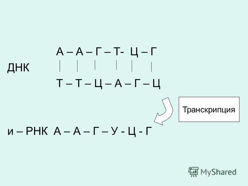 А – А – Г – Т- Ц – Г ДНК Т – Т – Ц – А – Г – Ц и – РНК А – А – Г – У - Ц - Г Транскрипция