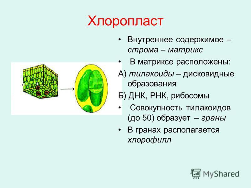 Хлоропласт Внутреннее содержимое – строма – матрикс В матриксе расположены: А) тилакоиды – дисковидные образования Б) ДНК, РНК, рибосомы Совокупность тилакоидов (до 50) образует – граны В гранах располагается хлорофилл