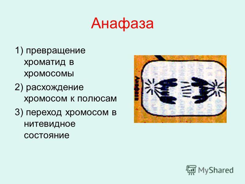 Анафаза 1) превращение хроматид в хромосомы 2) расхождение хромосом к полюсам 3) переход хромосом в нитевидное состояние