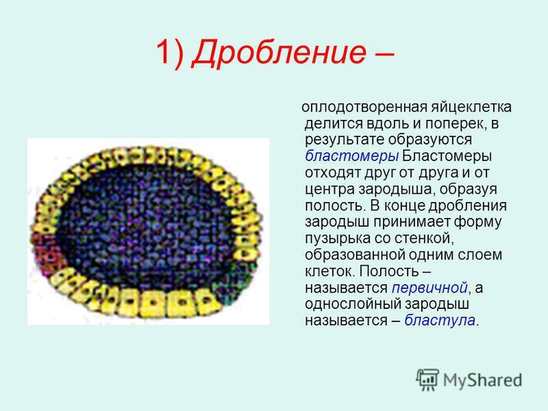1) Дробление – оплодотворенная яйцеклетка делится вдоль и поперек, в результате образуются бластомеры Бластомеры отходят друг от друга и от центра зародыша, образуя полость. В конце дробления зародыш принимает форму пузырька со стенкой, образованной
