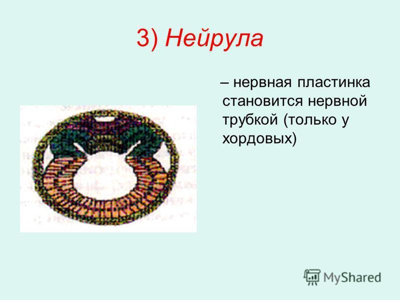 3) Нейрула – нервная пластинка становится нервной трубкой (только у хордовых)