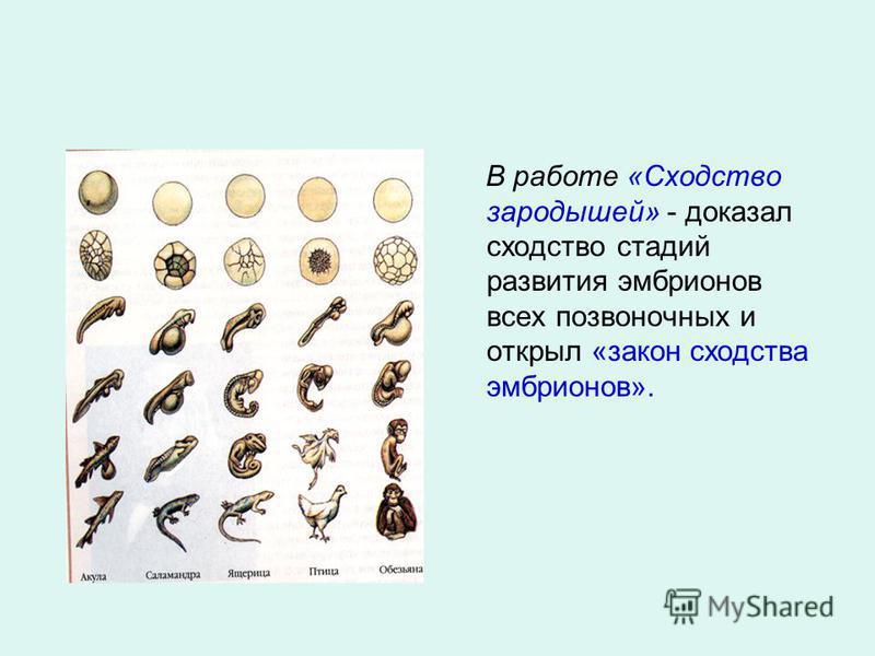 В работе «Сходство зародышей» - доказал сходство стадий развития эмбрионов всех позвоночных и открыл «закон сходства эмбрионов».