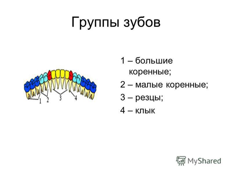 Группы зубов 1 – большие коренные; 2 – малые коренные; 3 – резцы; 4 – клык