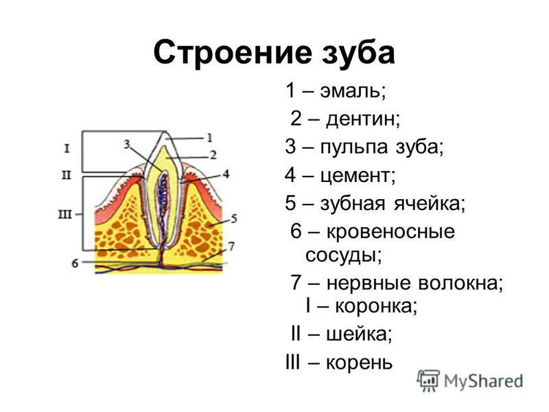 Строение зуба 1 – эмаль; 2 – дентин; 3 – пульпа зуба; 4 – цемент; 5 – зубная ячейка; 6 – кровеносные сосуды; 7 – нервные волокна; I – коронка; II – шейка; III – корень