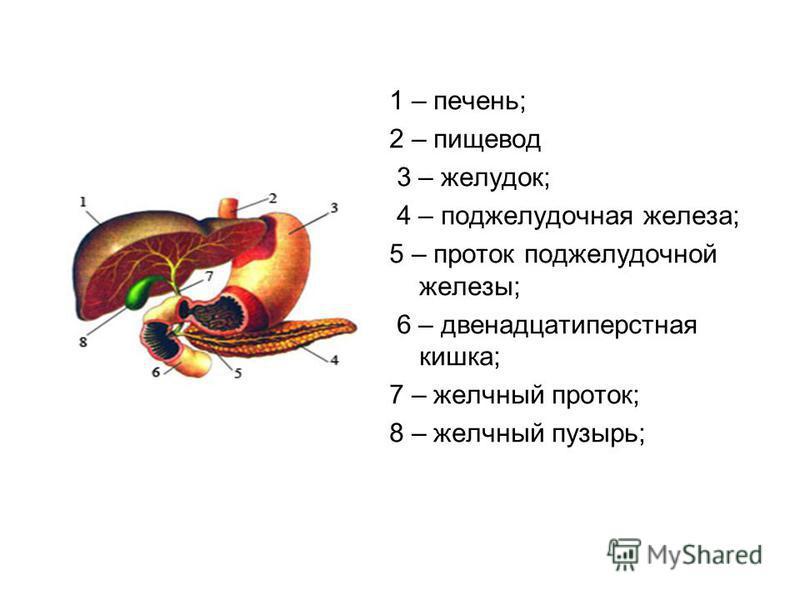 1 – печень; 2 – пищевод 3 – желудок; 4 – поджелудочная железа; 5 – проток поджелудочной железы; 6 – двенадцатиперстная кишка; 7 – желчный проток; 8 – желчный пузырь;