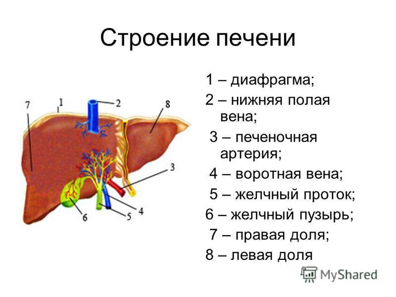 Строение печени 1 – диафрагма; 2 – нижняя полая вена; 3 – печеночная артерия; 4 – воротная вена; 5 – желчный проток; 6 – желчный пузырь; 7 – правая доля; 8 – левая доля