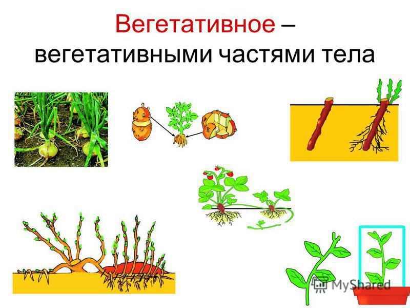 Вегетативное – вегетативными частями тела