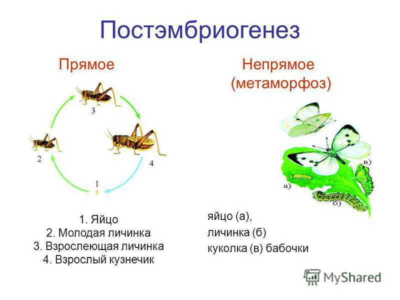 Постэмбриогенез Прямое Непрямое (метаморфоз) яйцо (а), личинка (б) куколка (в) бабочки 1. Яйцо 2. Молодая личинка 3. Взрослеющая личинка 4. Взрослый кузнечик