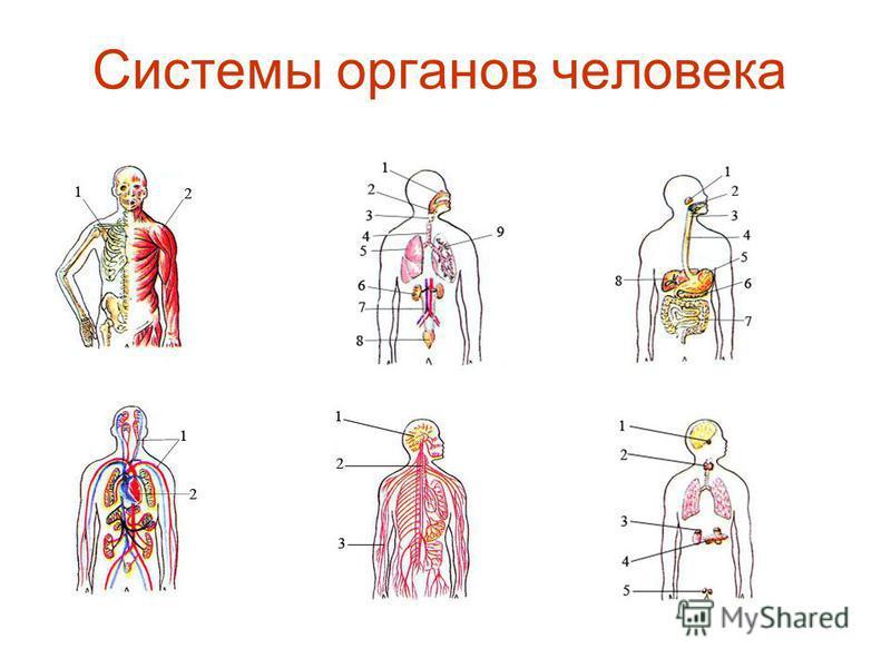 Системы органов человека