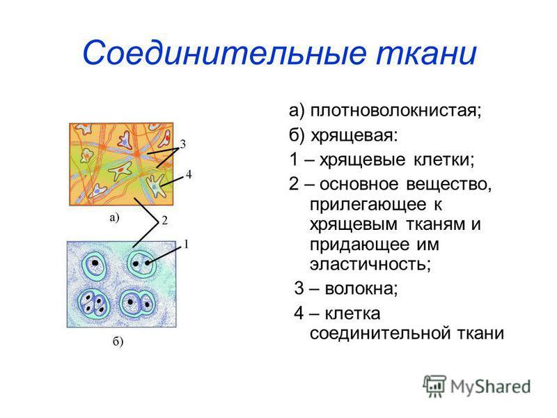 Соединительные ткани а) плотно волокнистая; б) хрящевая: 1 – хрящевые клетки; 2 – основное вещество, прилегающее к хрящевым тканям и придающее им эластичность; 3 – волокна; 4 – клетка соединительной ткани