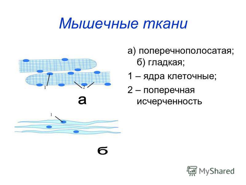 Мышечные ткани а) поперечнополосатая; б) гладкая; 1 – ядра клеточные; 2 – поперечная исчерченность