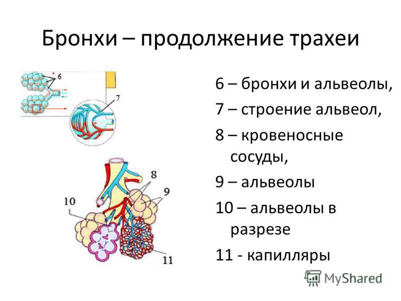 Бронхи – продолжение трахеи 6 – бронхи и альвеолы, 7 – строение альвеол, 8 – кровеносные сосуды, 9 – альвеолы 10 – альвеолы в разрезе 11 - капилляры