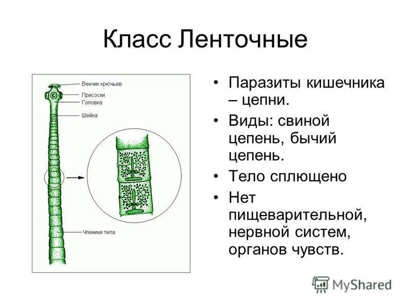 Класс Ленточные Паразиты кишечника – цепни. Виды: свиной цепень, бычий цепень. Тело сплющено Нет пищеварительной, нервной систем, органов чувств.