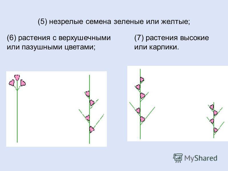 (5) незрелые семена зеленые или желтые; (6) растения с верхушечными или пазушными цветами; (7) растения высокие или карлики.