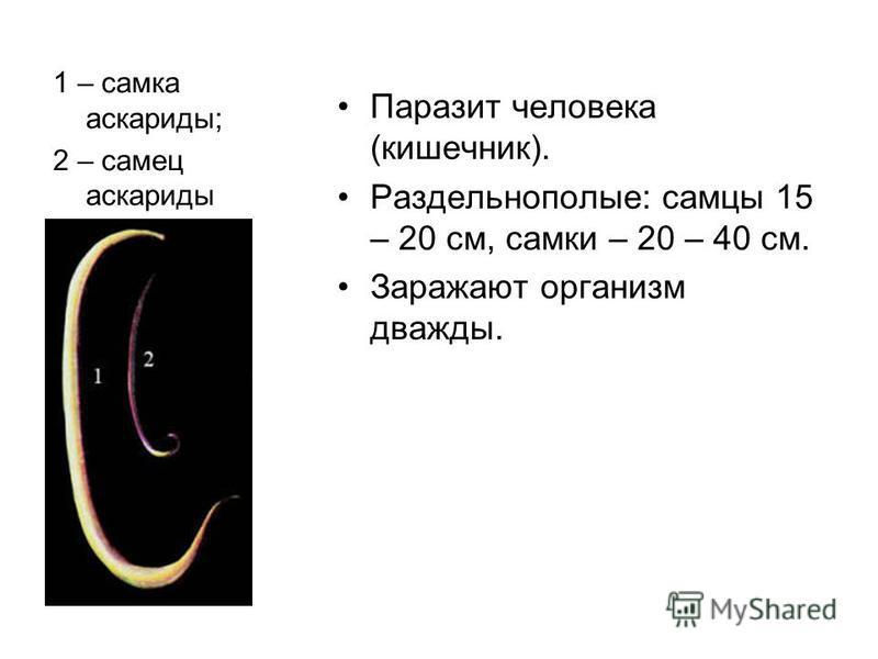1 – самка аскариды; 2 – самец аскариды Паразит человека (кишечник). Раздельнополые: самцы 15 – 20 см, самки – 20 – 40 см. Заражают организм дважды.