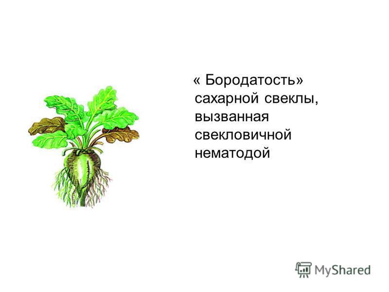« Бородатость» сахарной свеклы, вызванная свекловичной нематодой