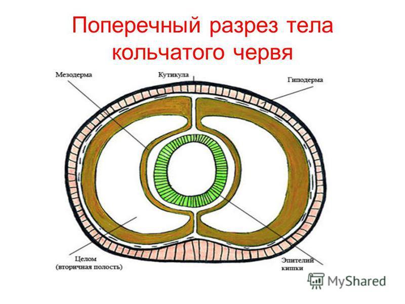 Поперечный разрез тела кольчатого червя