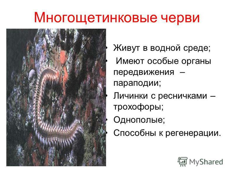 Многощетинковые черви Живут в водной среде; Имеют особые органы передвижения – параподии; Личинки с ресничками – трохофоры; Однополые; Способны к регенерации.