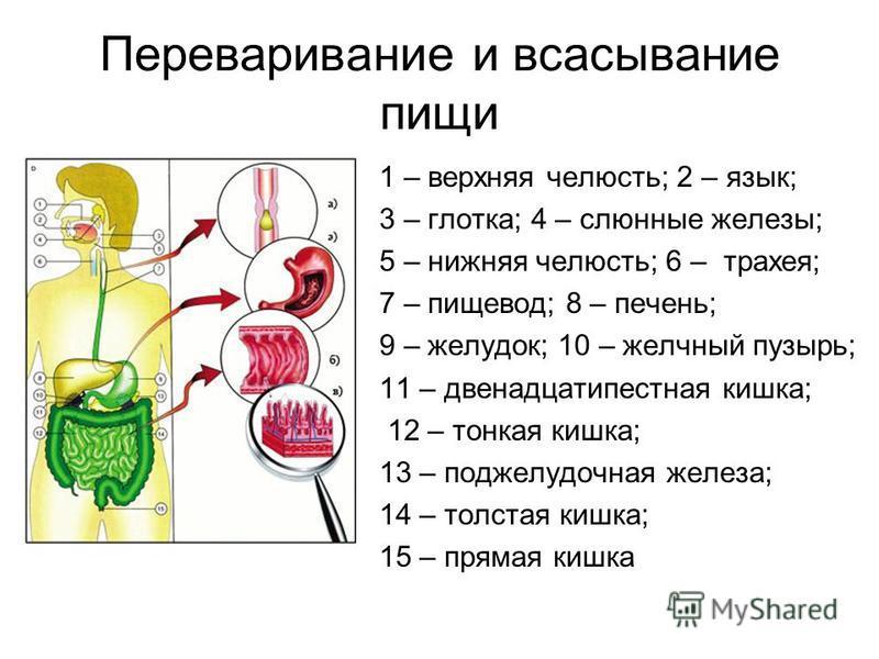 Переваривание и всасывание пищи 1 – верхняя челюсть; 2 – язык; 3 – глотка; 4 – слюнные железы; 5 – нижняя челюсть; 6 – трахея; 7 – пищевод; 8 – печень; 9 – желудок; 10 – желчный пузырь; 11 – двенадцатиперстная кишка; 12 – тонкая кишка; 13 – поджелудо