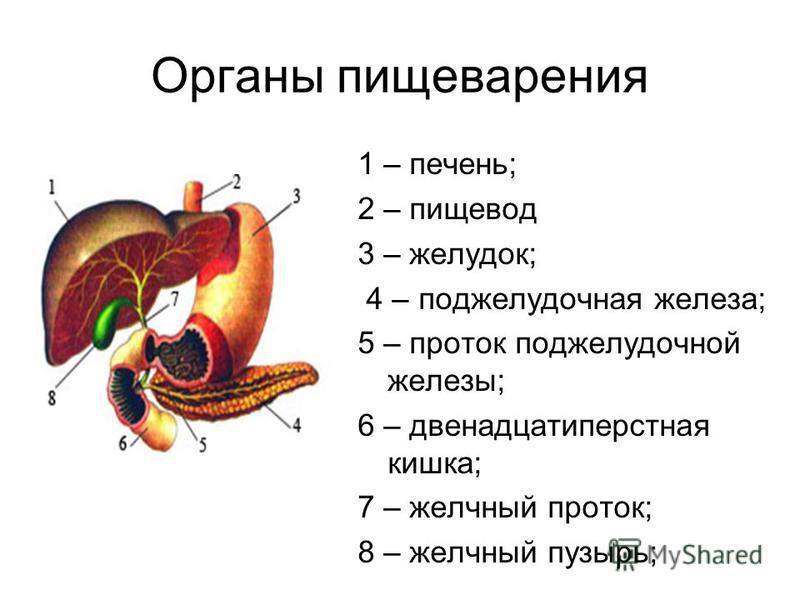 Органы пищеварения 1 – печень; 2 – пищевод 3 – желудок; 4 – поджелудочная железа; 5 – проток поджелудочной железы; 6 – двенадцатиперстная кишка; 7 – желчный проток; 8 – желчный пузырь;