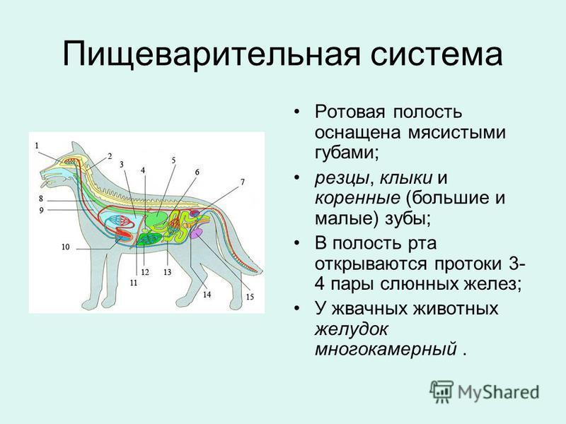 Пищеварительная система Ротовая полость оснащена мясистыми губами; резцы, клыки и коренные (большие и малые) зубы; В полость рта открываются протоки 3- 4 пары слюнных желез; У жвачных животных желудок многокамерный.