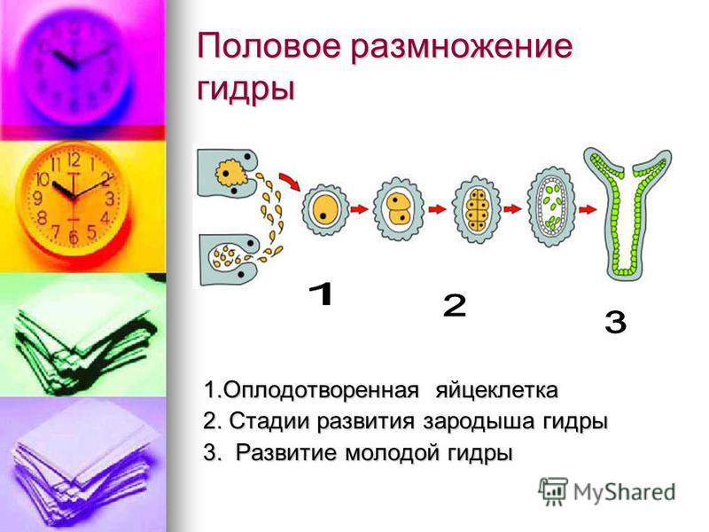 Половое размножение гидры 1. Оплодотворенная яйцеклетка 1. Оплодотворенная яйцеклетка 2. Стадии развития зародыша гидры 2. Стадии развития зародыша гидры 3. Развитие молодой гидры 3. Развитие молодой гидры