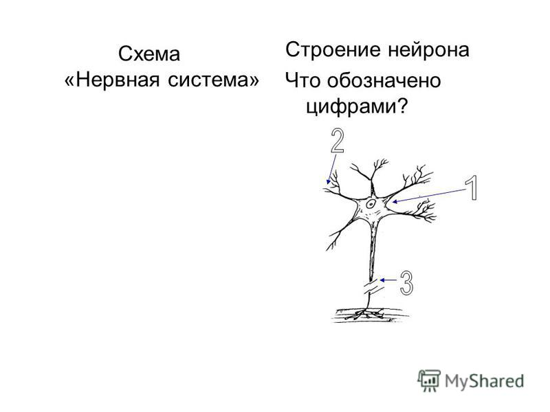 Работа с понятиями: Нервная система Раздражимость Нейрон Аксон Дендрит Рефлекс Типы нервной системы: 1. У кого: 2. У кого: