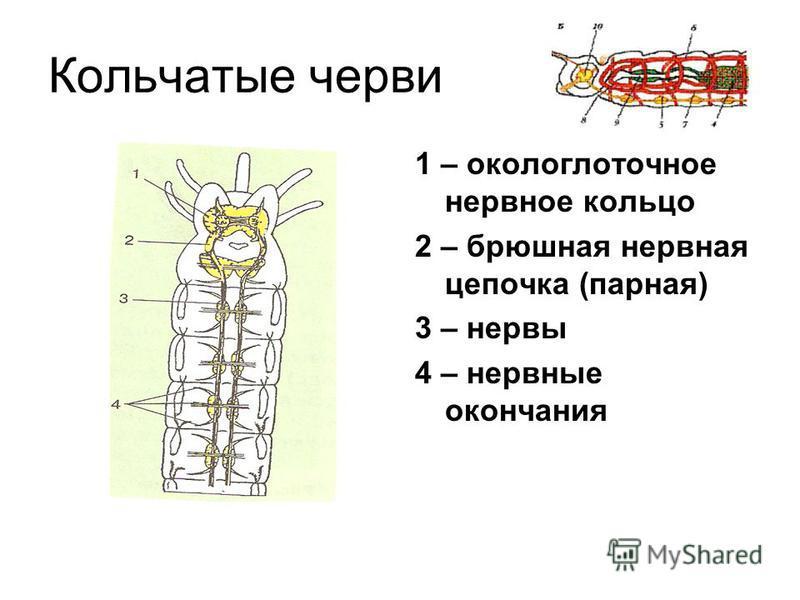 Плоские черви 1 – нервные узлы 2 – нервный ствол 3 – нервное окончание