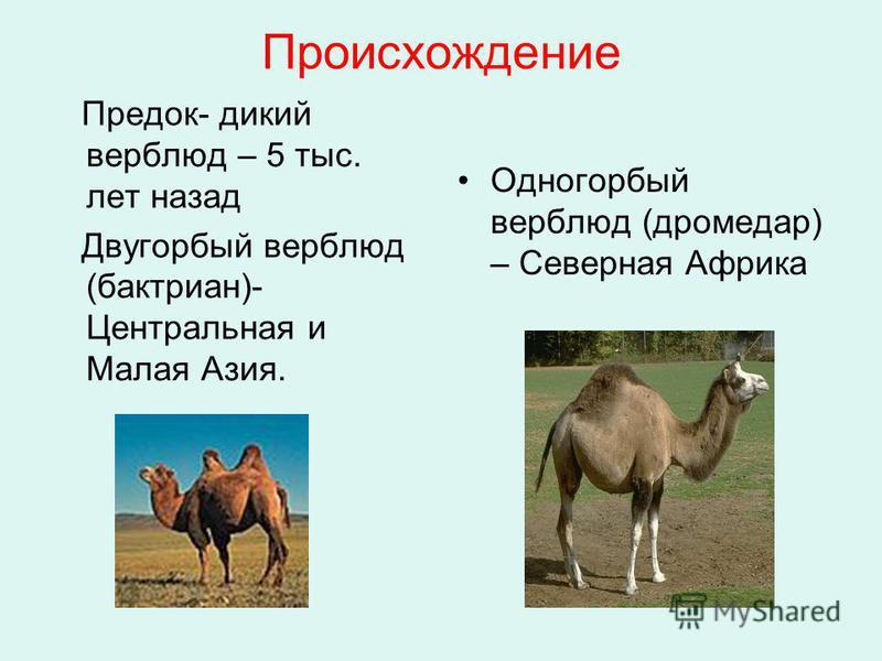 Происхождение Предок- дикий верблюд – 5 тыс. лет назад Двугорбый верблюд (бактриан)- Центральная и Малая Азия. Одногорбый верблюд (дромедар) – Северная Африка