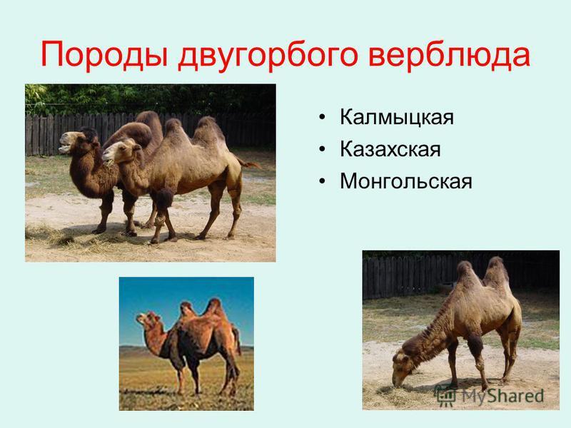 Породы двугорбого верблюда Калмыцкая Казахская Монгольская