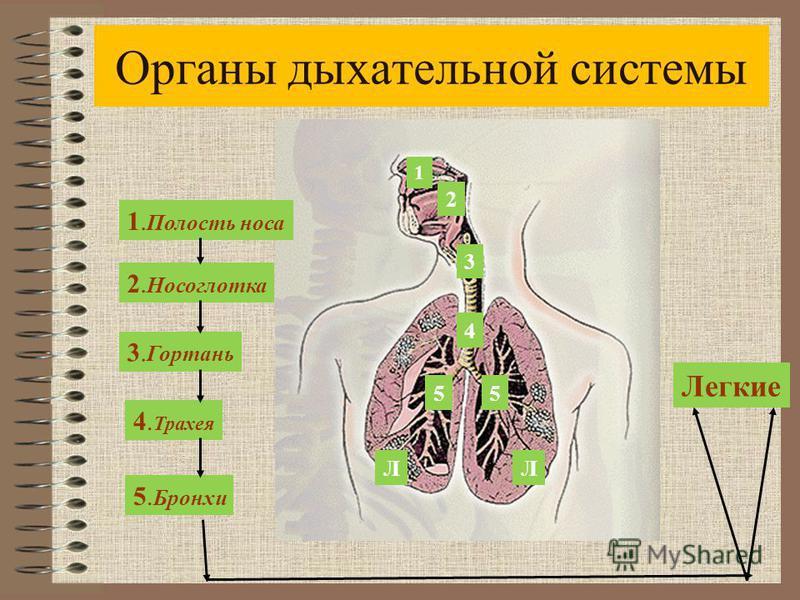 Органы дыхательной системы 1. Полость носа 2. Носоглотка 3. Гортань 5. Бронхи 4. Трахея Легкие 1 2 3 4 55 ЛЛ