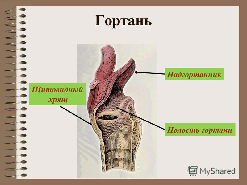 Гортань Надгортанник Щитовидный хрящ Полость гортани