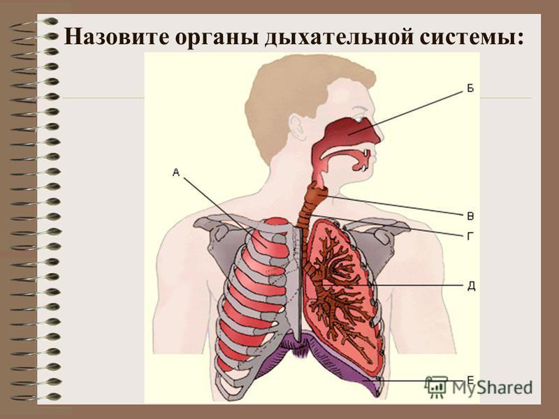 Назовите органы дыхательной системы: