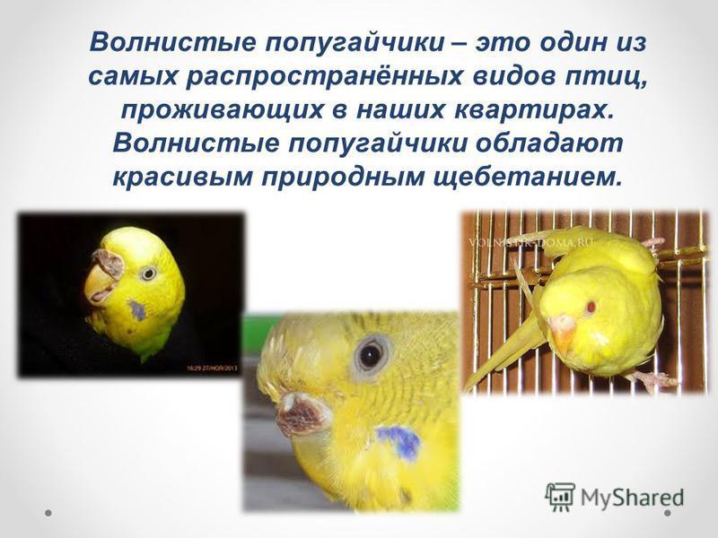 Волнистые попугайчики – это один из самых распространённых видов птиц, проживающих в наших квартирах. Волнистые попугайчики обладают красивым природным щебетанием.