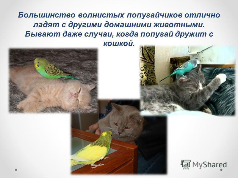 Большинство волнистых попугайчиков отлично ладят с другими домашними животными. Бывают даже случаи, когда попугай дружит с кошкой.