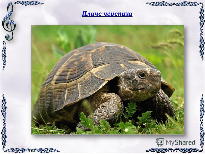 Плаче черепаха