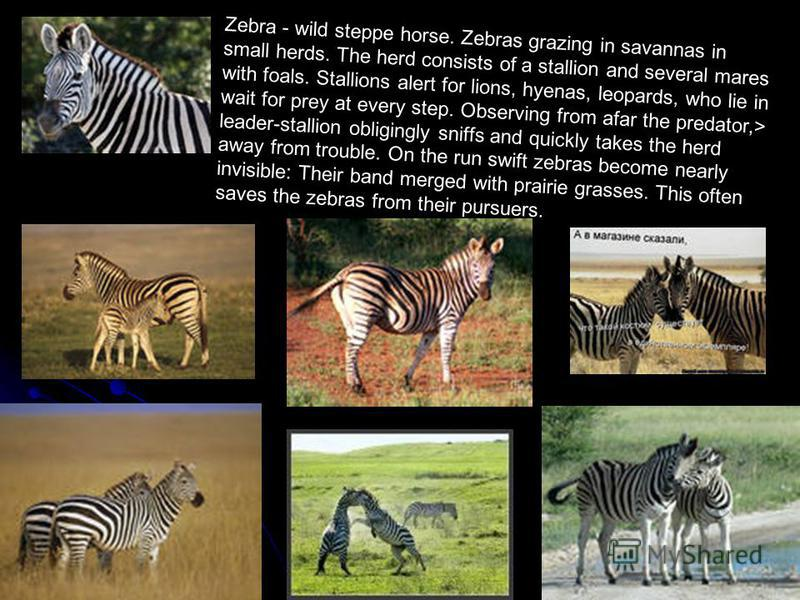 Zebra - wild steppe horse. Zebras grazing in savannas in small herds. The herd consists of a stallion and several mares with foals. Stallions alert for lions, hyenas, leopards, who lie in wait for prey at every step. Observing from afar the predator,