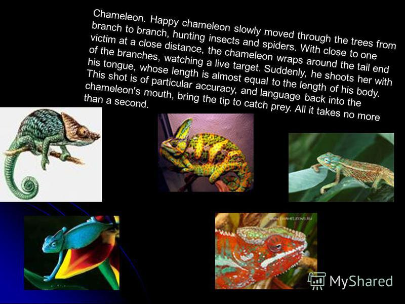 Chameleon. Happy chameleon slowly moved through the trees from branch to branch, hunting insects and spiders. With close to one victim at a close distance, the chameleon wraps around the tail end of the branches, watching a live target. Suddenly, he