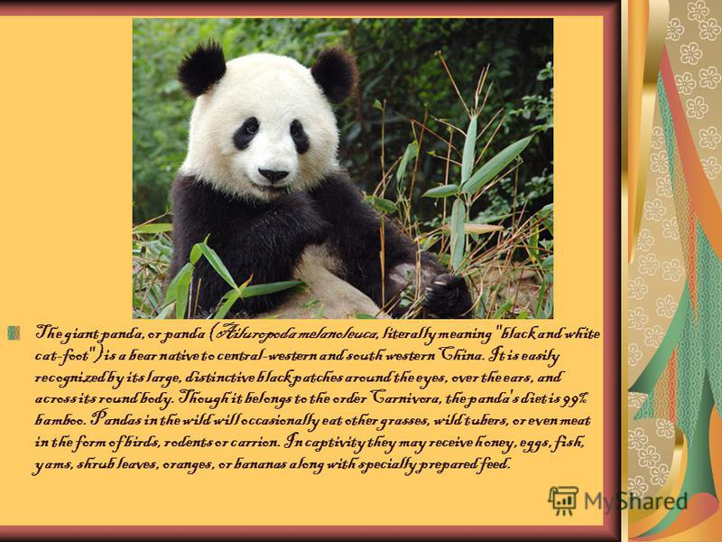 The giant panda, or panda (Ailuropoda melanoleuca, literally meaning