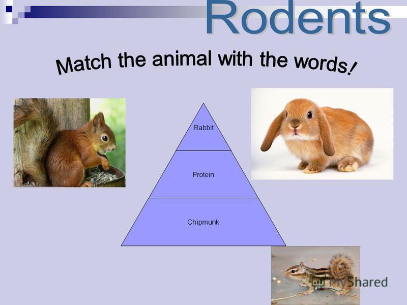 Rabbit Protein Chipmunk